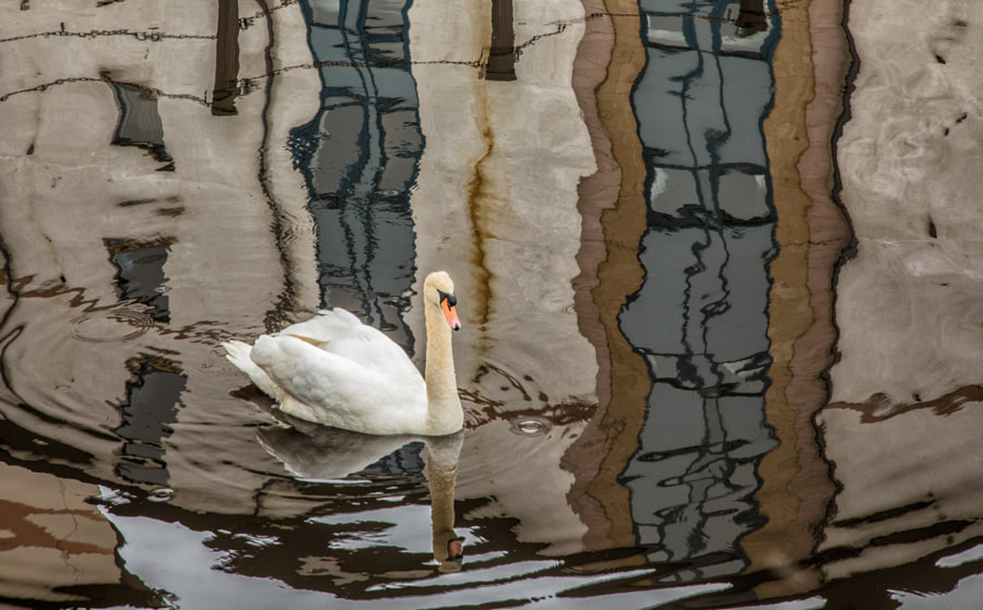 Swan and reflections