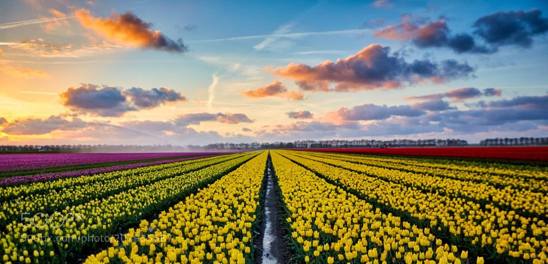 Tulips are yellow.