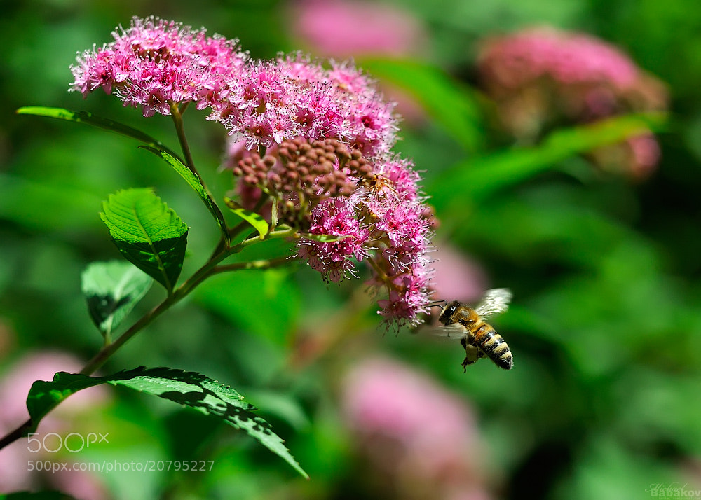 Photograph Bee and flower by Michael Babakov on 500px