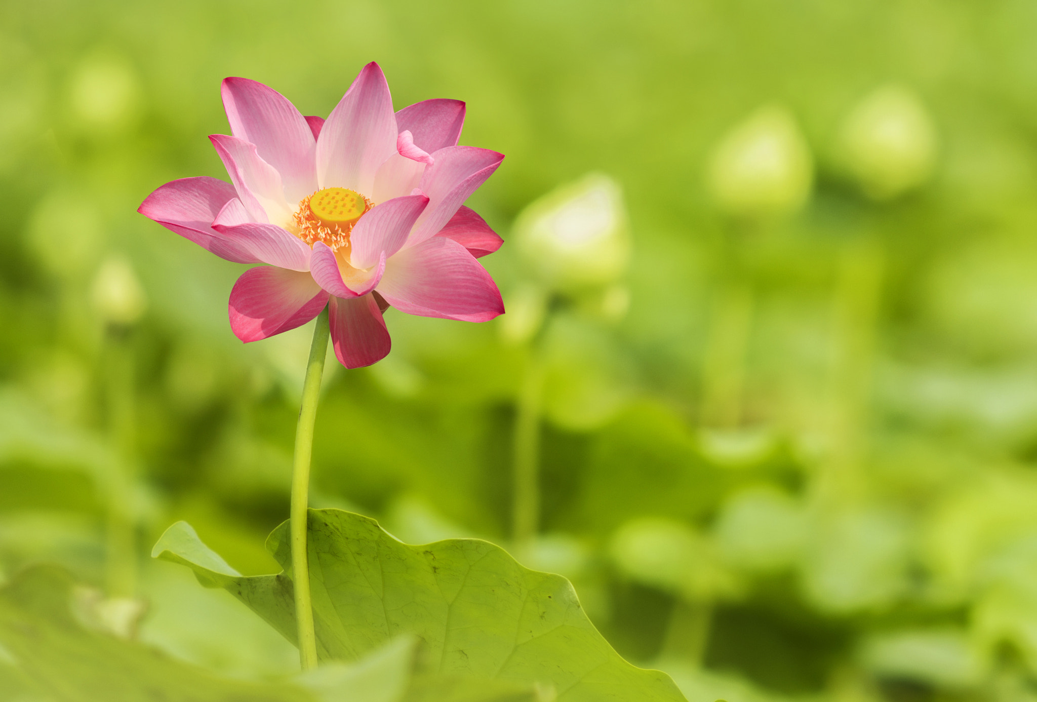 Photograph Green lotus selective focust by Anek S on 500px