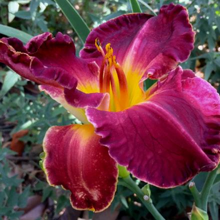 Vibrant Daylily
