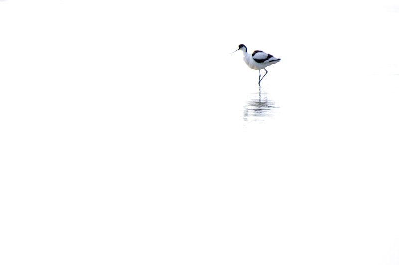 Photograph Pied Avocet by Pascale  Sobry on 500px