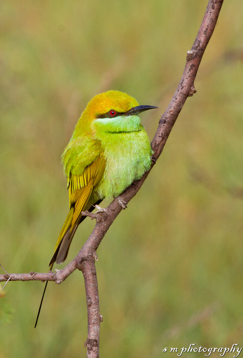 Photograph Green Bee Eater by Santosh Mulik on 500px