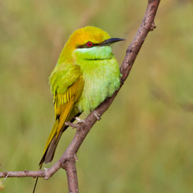 Green Bee Eater by Santosh Mulik (SantoshMulik)) on 500px.com