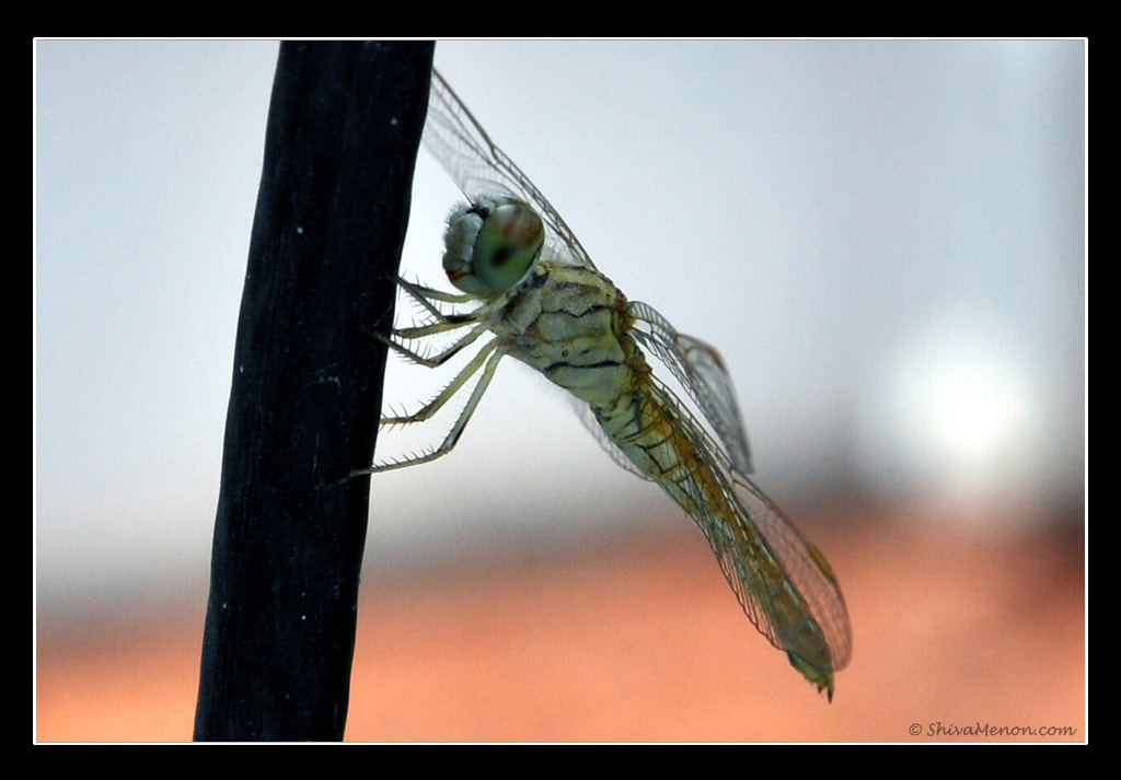 Photograph Goldtail - Dragonfly by Shiva Menon on 500px