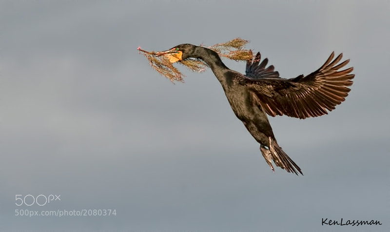 This Cormorant was busy for hours bringing in material to build a nest