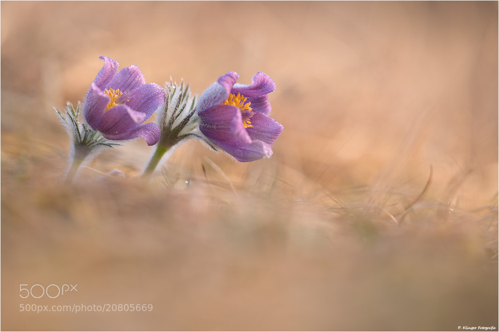 Photograph Pulsatilla double by Philip Klinger on 500px