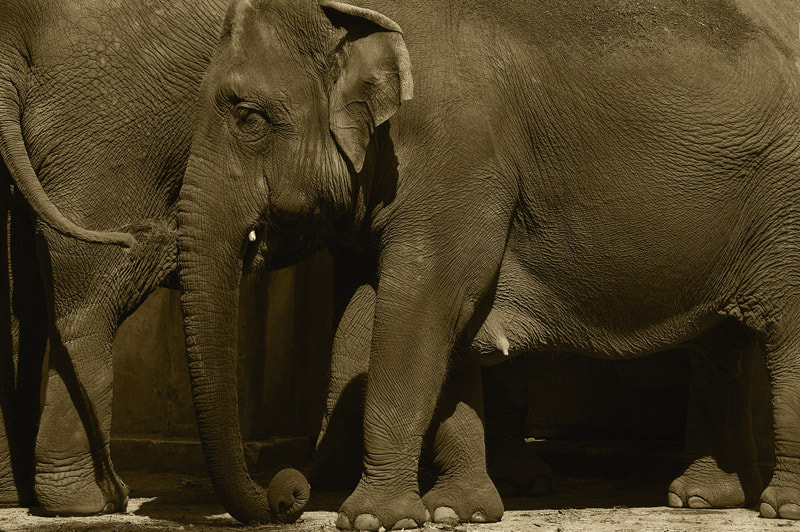 Photograph  Elephant at the zoo by Pascale  Sobry on 500px