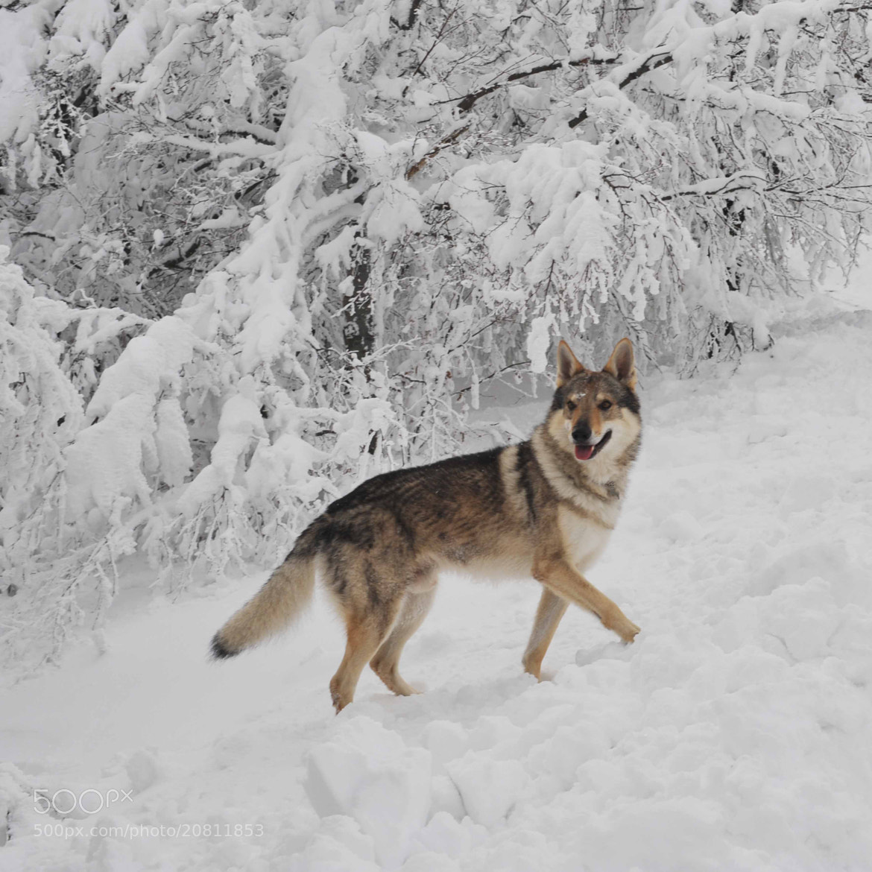 Silver czechoslovakian wolfdog - photo#4