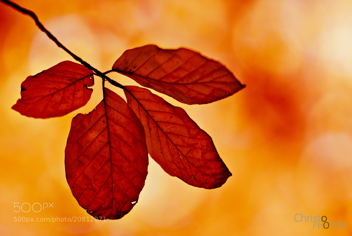 Photograph Red Leafs by Christoph Dohmesen on 500px