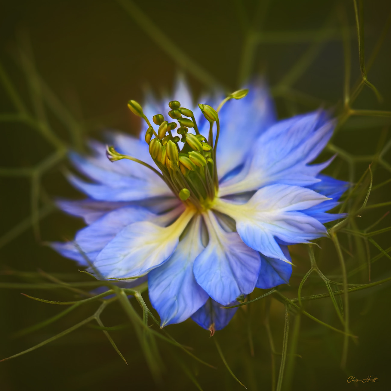 Photograph Nigella by Chris Hewitt on 500px