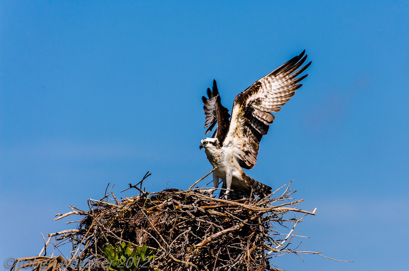 Photograph Osprey, female by Robert Whitaker on 500px