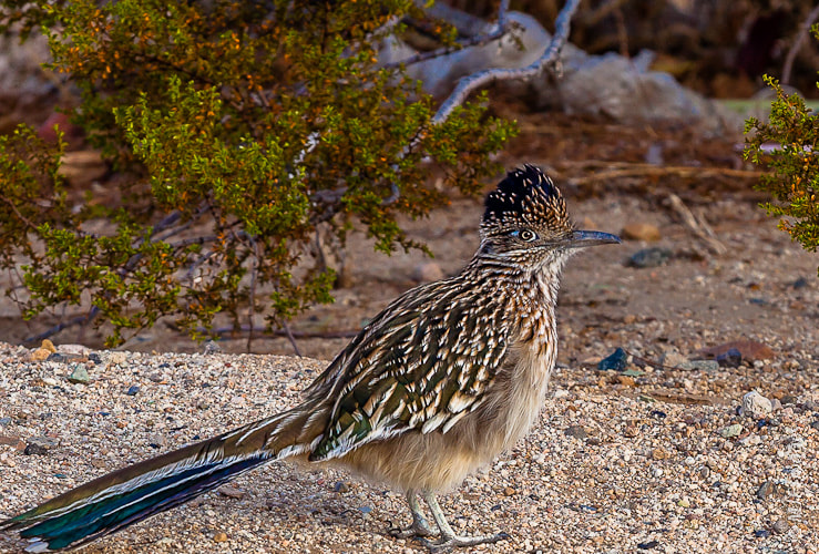 Photograph Roadrunner by Michael Flaherty on 500px