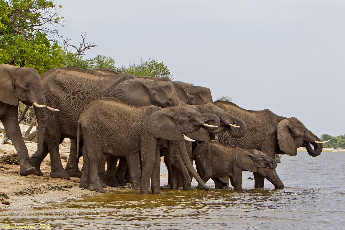Photograph Elephant Family on Chobe River by Nevil Lazarus on 500px