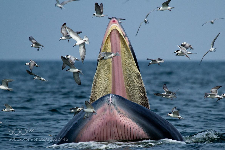 Photograph  Bryde's whale @ Lem pak bia by Nattapol Kirdchuchuen on 500px