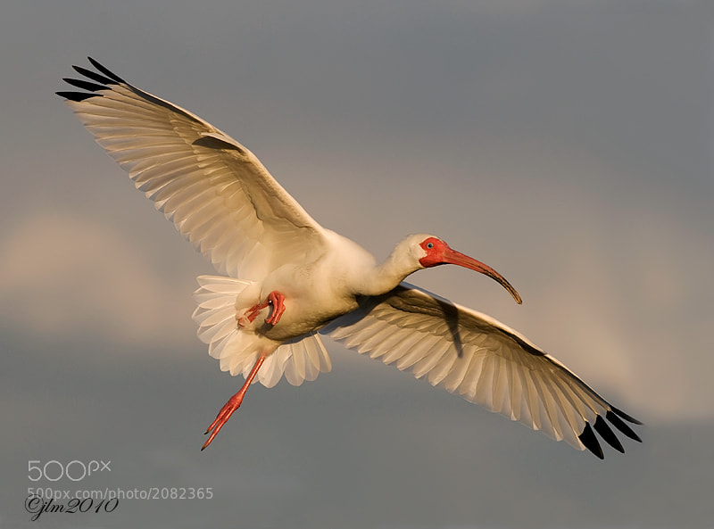 This was taken late in the evening and the ibis were returning to roost for the night.  With such gorgeous lighting just before sunset these birds really show off their incredible beauty.  Because they are such a common species here in Florida it is easy to take them for granted.