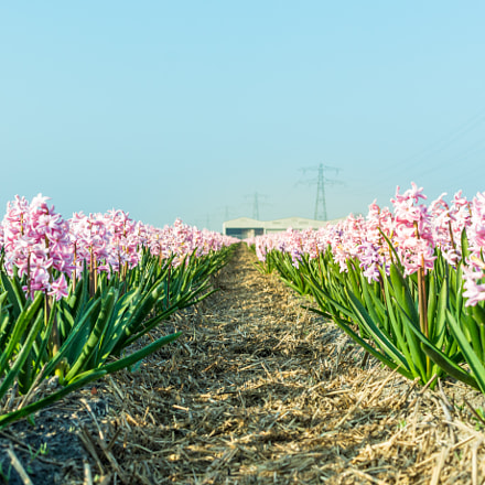 Hyacinths in Sassenheim (Holland)