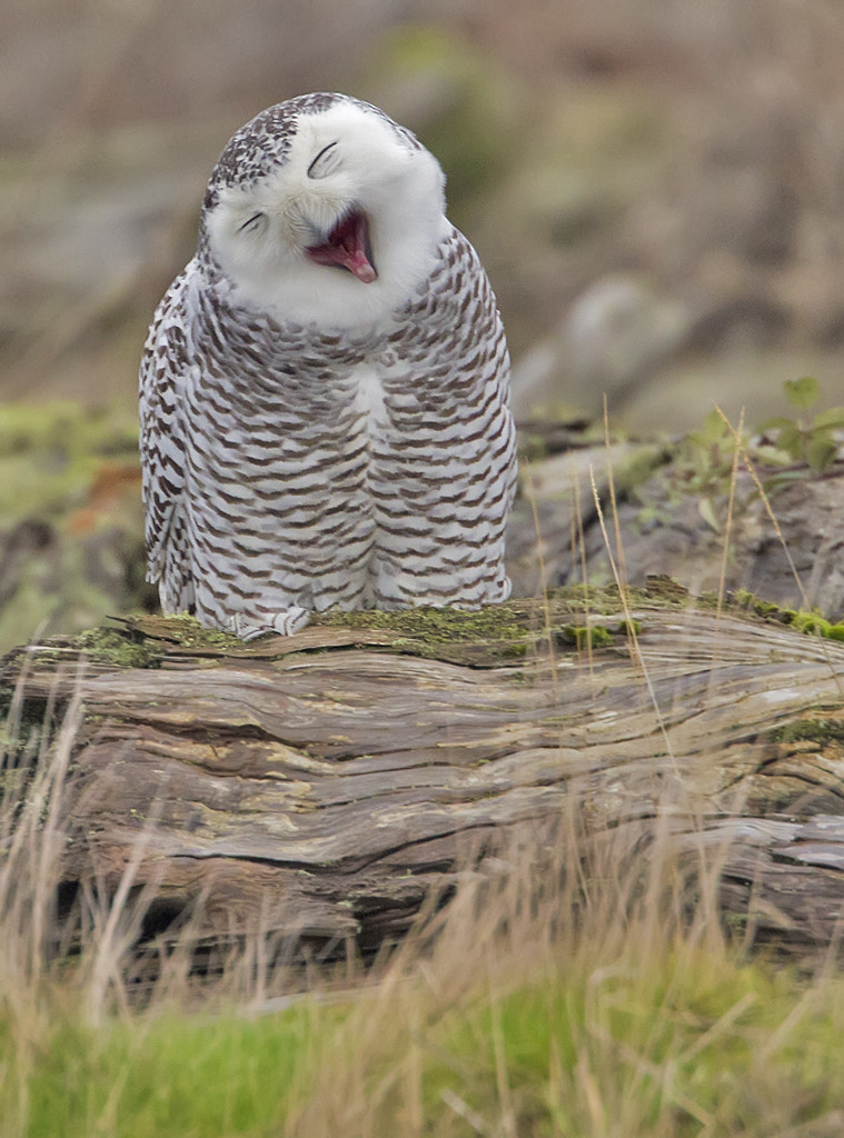 Photograph Owl Yawn by Duke Coonrad on 500px
