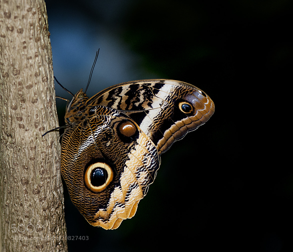 Photograph Owl butterfly by Arvind Balaraman on 500px