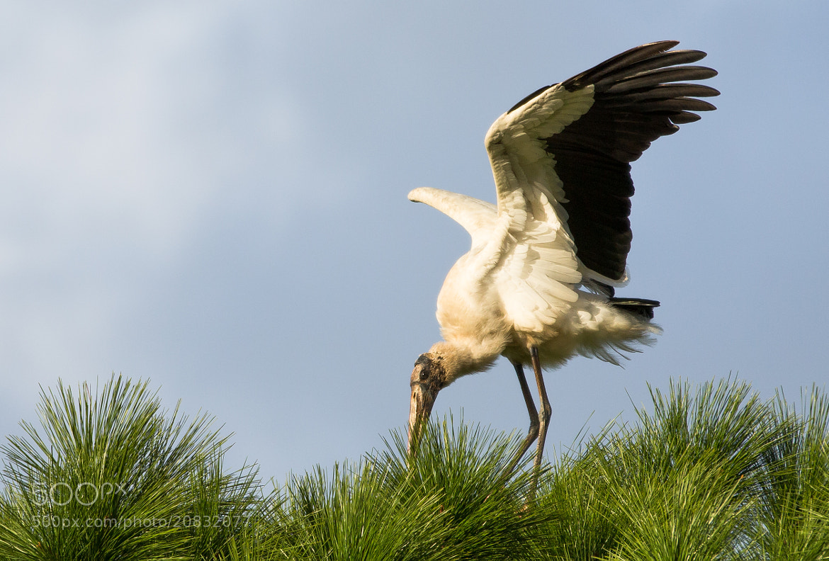 Photograph Dancing Stork by George Bloise on 500px