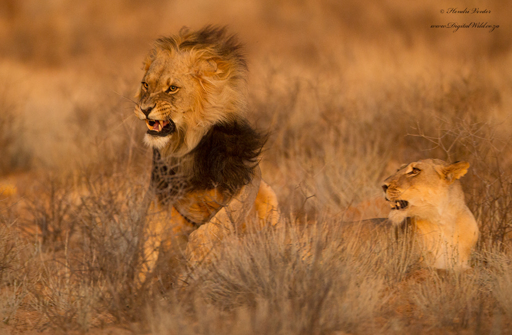 Photograph Mating Lions II by Hendri Venter on 500px