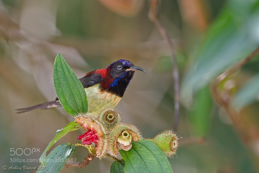 Only managed to capture a few shots of this Black-Throated Sunbird so far a few months ago during a trip Kaeng Krachan National Park here in Thailand, and very much looking forward to another opportunity sometime in the not too distant future.