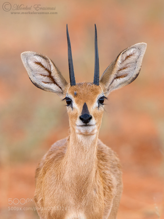 Photograph Serene Steenbok by Morkel Erasmus on 500px