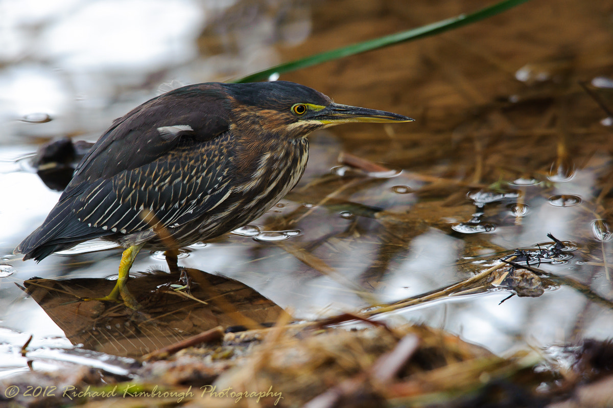 Photograph Green Heron by Richard Kimbrough on 500px