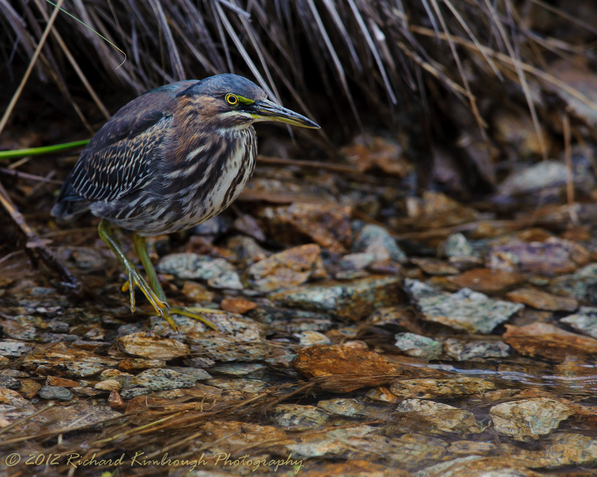 Photograph Green Heron Crossing A Stream by Richard Kimbrough on 500px