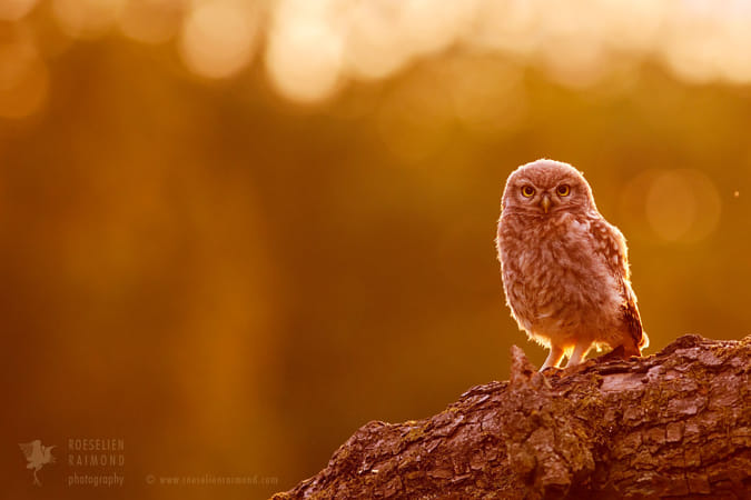Little Owl in Red