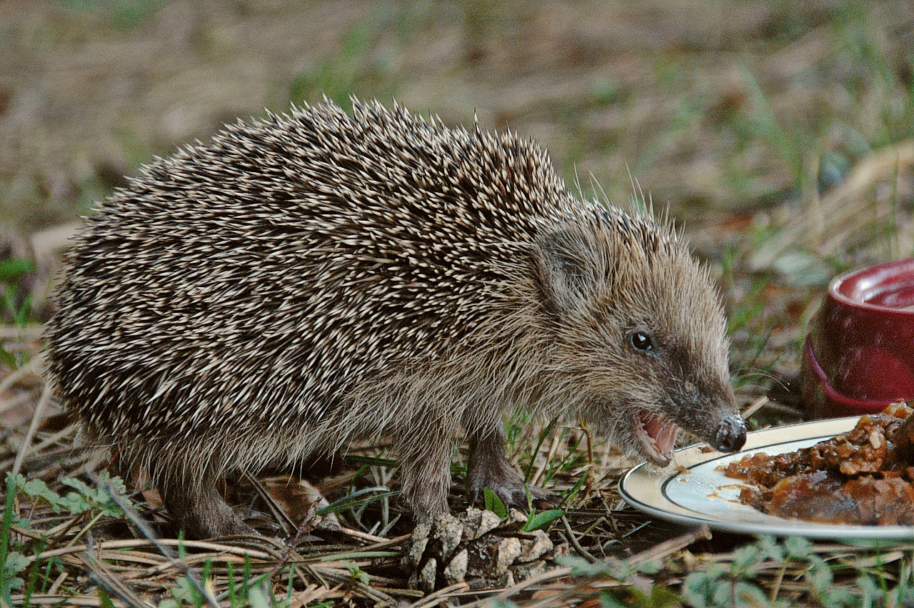 Photograph Hedgehog by Sir Trauti on 500px