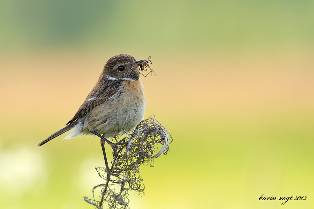 Photograph Stonechat female with prey by Karin Vogt on 500px