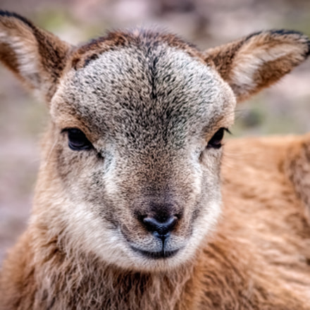 Little Mouflon