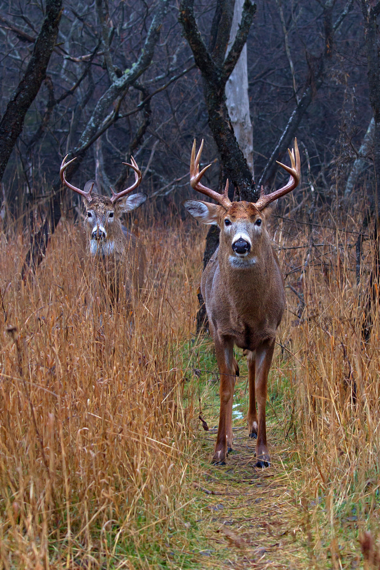 Photograph The path that lies ahead - White-tailed deer by Jim Cumming on 500px