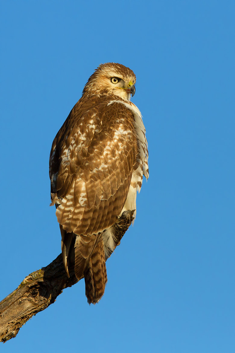 Photograph The Surveyor - Red-tailed Hawk by Jim Cumming on 500px