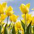 Kayseride Lale - Tulip