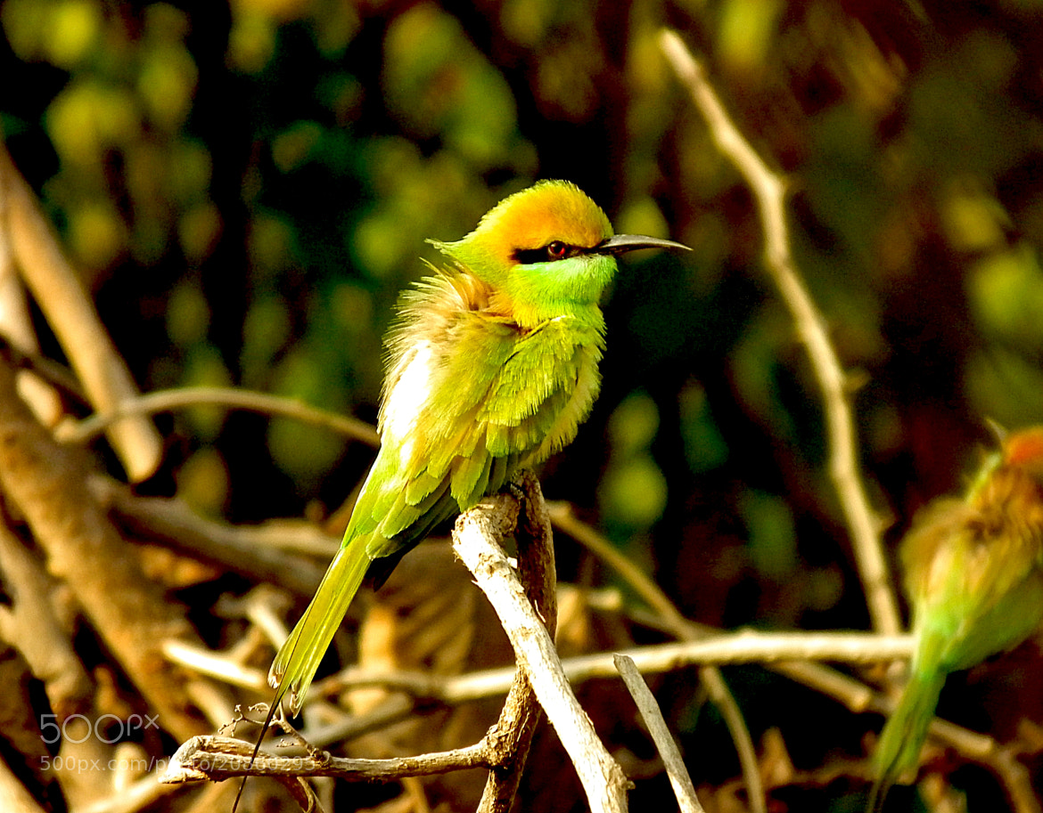 Photograph Green Bee Eater by Hardik Upadhyay on 500px
