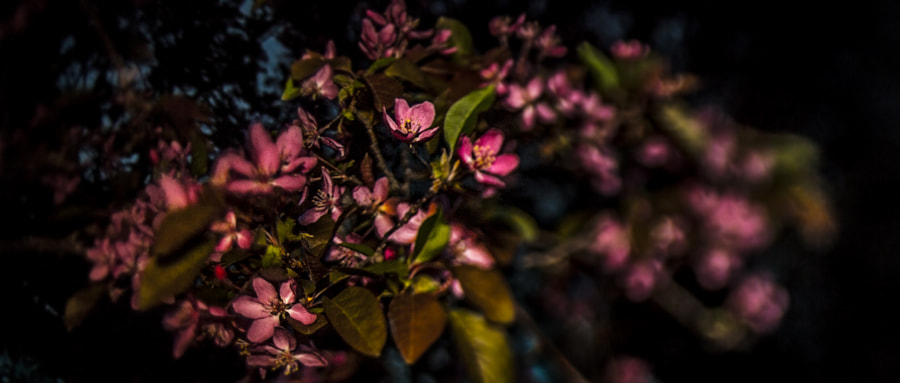Crab Apple Blossoms at Night II by Jeff Carter on 500px.com