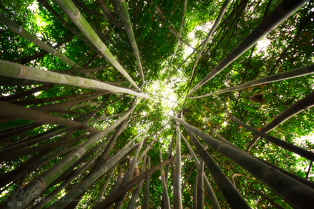 Photograph Bamboo forest by Philippe Lejeanvre on 500px