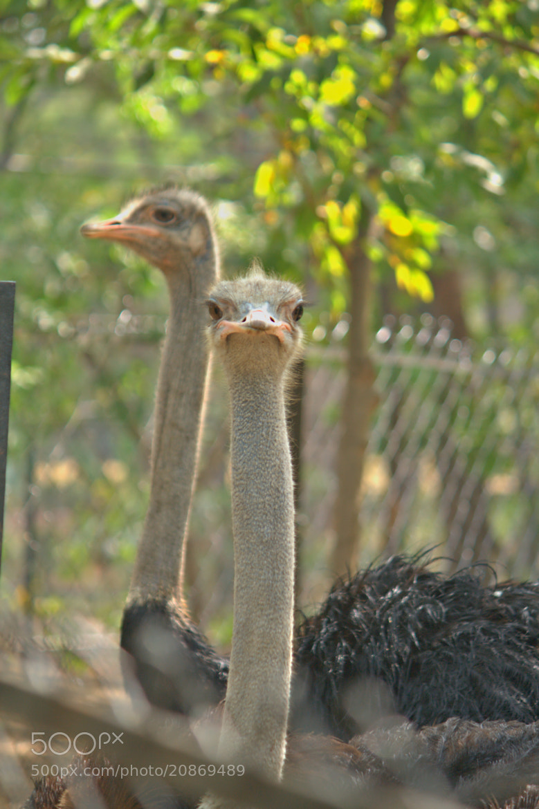 Photograph The Ostrich by Phani Kumar Nippani on 500px