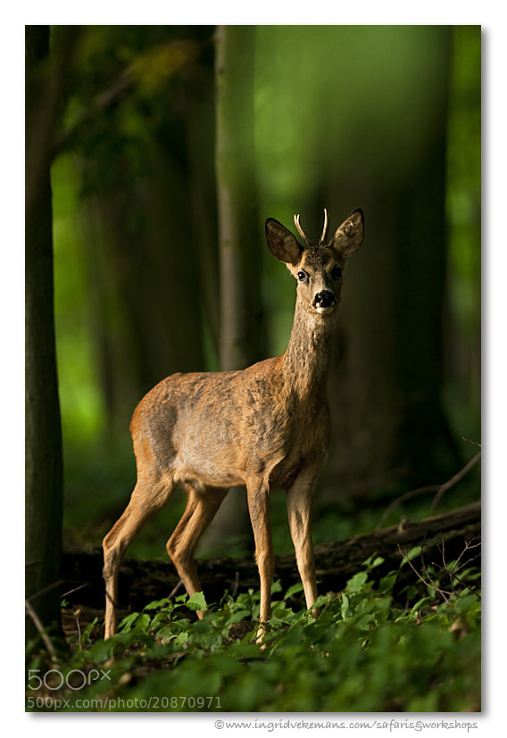 Photograph Prince of the Woods by Ingrid Vekemans on 500px