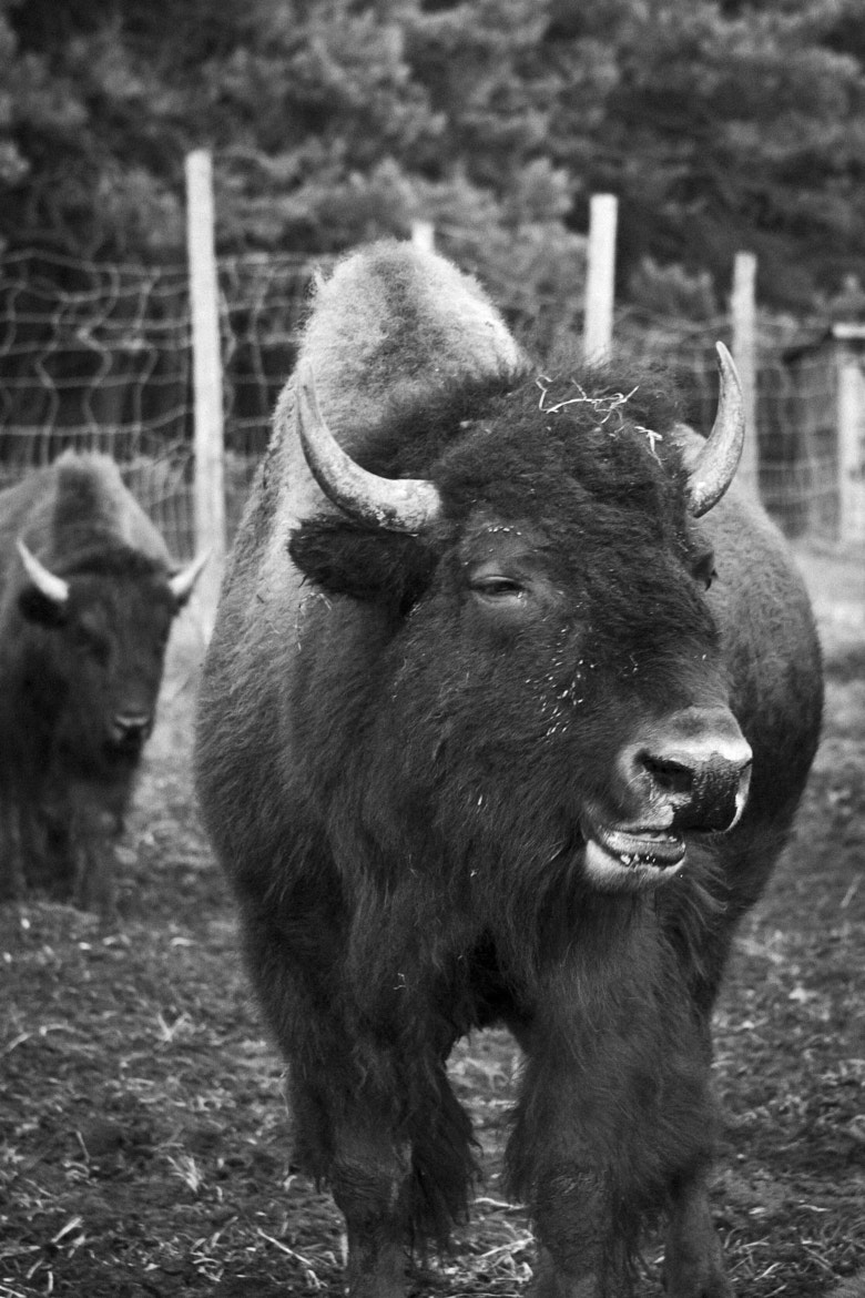 Photograph Funny bison by Annie Macfhay on 500px