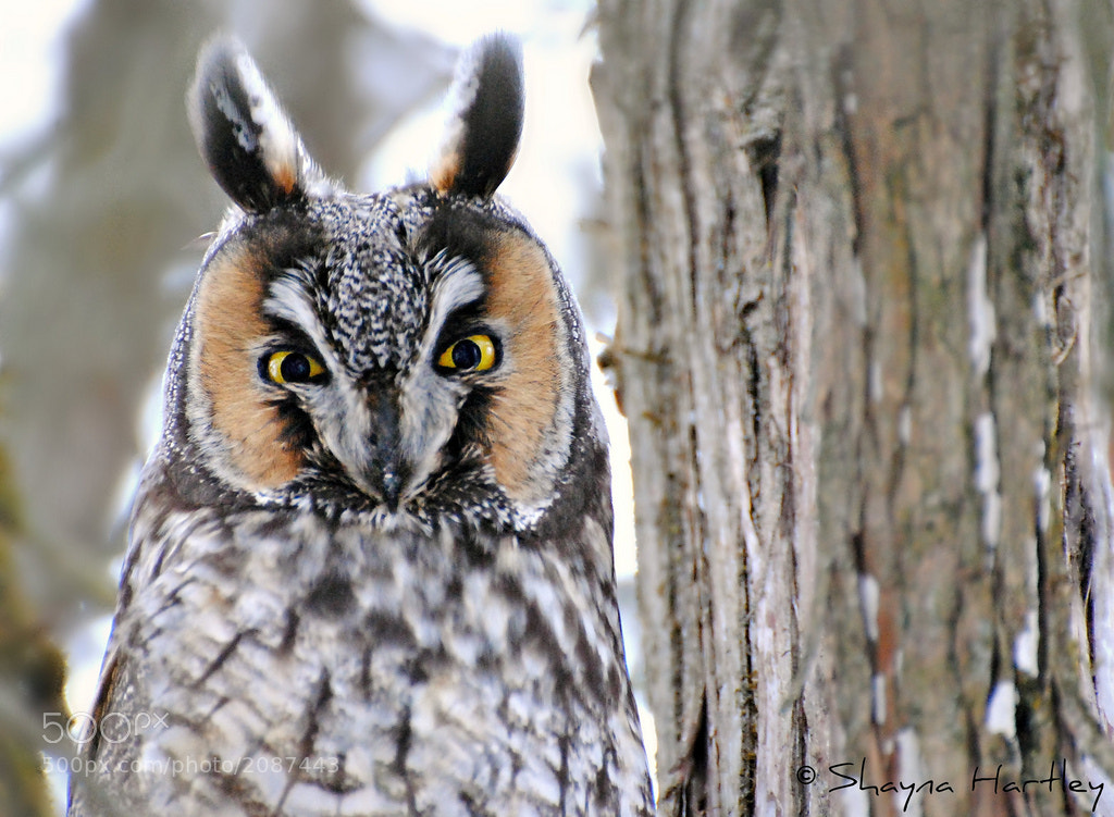 Photograph Long-eared Portrait 2 by Shayna Hartley on 500px