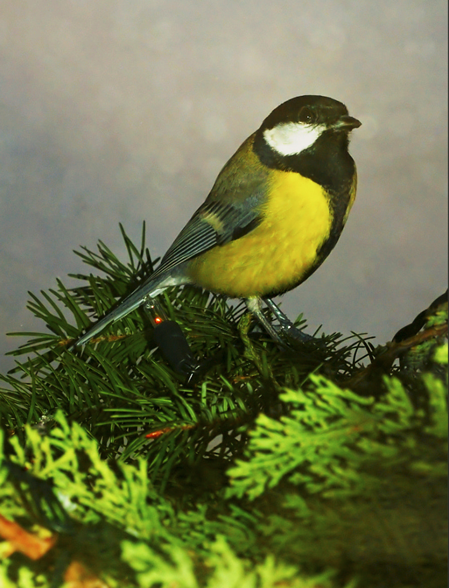 Photograph Great Tit on christmas tree by Komi Fuchs on 500px
