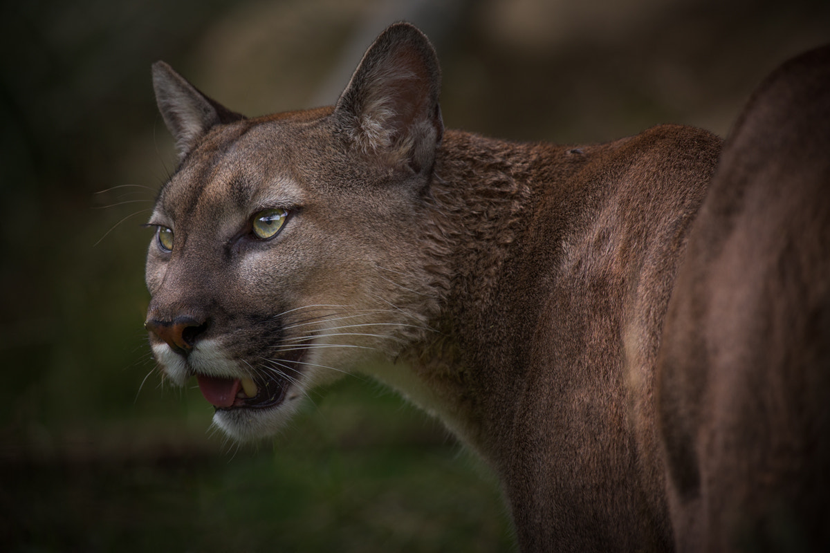 Photograph Mountain Lion by Billy Currie on 500px