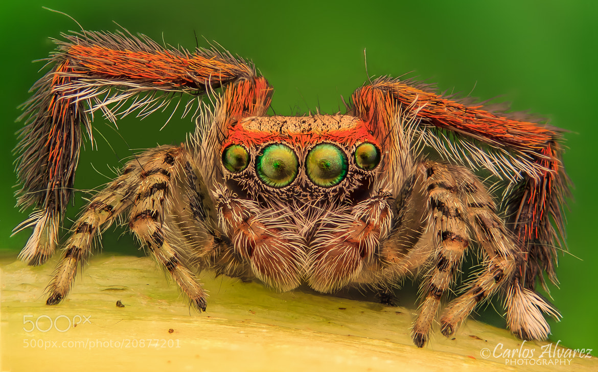 Photograph Salticidae (Saitis barbipes) by Carlos Álvarez on 500px