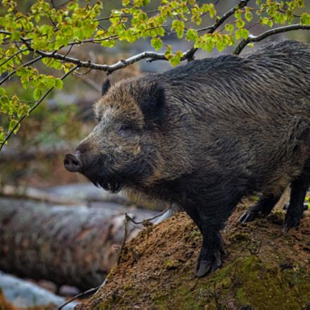 Wild Boar |Germany