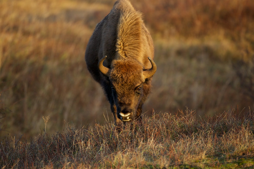 Photograph Curious Wisent  by Johan Hoogerbrug on 500px