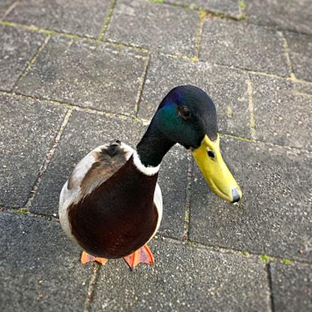 My duckling Lucas