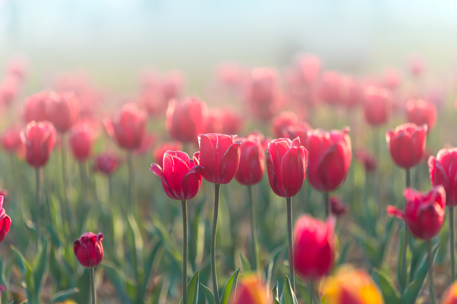 Tulip by Harry Kim on 500px.com